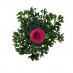 Ranunculus asiaticus I.jpg