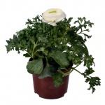 Ranunculus asiaticus IV.jpg