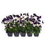 Viola cornuta 10 pack II.jpg