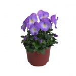 Viola cornuta I.jpg