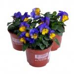 Viola cornuta IX.jpg
