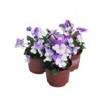 Viola cornuta V.jpg