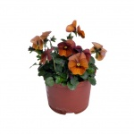 Viola cornuta VI.jpg