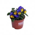 Viola cornuta VIII.jpg