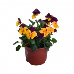 Viola cornuta X.jpg