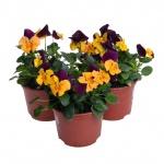 Viola cornuta XI.jpg