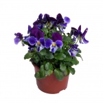 Viola cornuta III