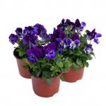 Viola cornuta XV.jpg