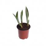 Tulipa III