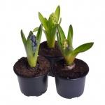 Hyacinthus orientalis V