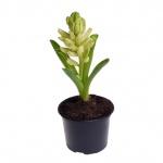 Hyacinthus orientalis X