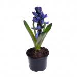 Hyacinthus orientalis XIII