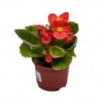 Begonia semperflorens II.jpg