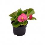 Begonia semperflorens III.jpg