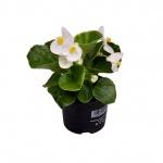 Begonia semperflorens IV.jpg