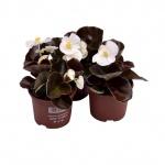 Begonia semperflorens IX.jpg