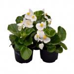 Begonia semperflorens V.jpg