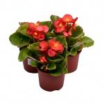 Begonia semperflorens VI.jpg