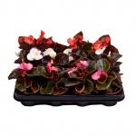 Begonia semperflorens VIII.jpg