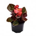 Begonia semperflorens XI.jpg