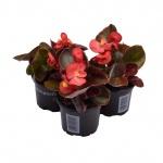 Begonia semperflorens XII.jpg