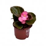 Begonia semperflorens XIII.jpg