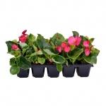Begonia semperflorens 10 pack I.jpg