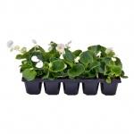 Begonia semperflorens 10 pack II.jpg
