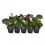 Begonia semperflorens 10 pack III.jpg