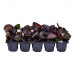 Begonia semperflorens 10 pack IV.jpg