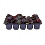 Begonia semperflorens 10 pack V.jpg