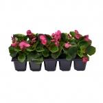 Begonia semperflorens 10 pack VII.jpg