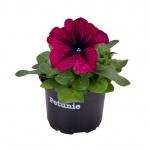 Petunia II.jpg