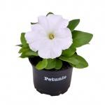 Petunia VII.jpg