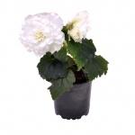 Begonia Tuberhybrida II.jpg