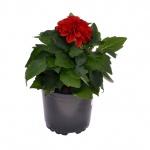 Begonia Tuberhybrida IV.jpg