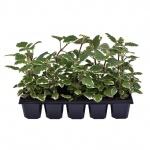 Plectranthus forsteri 10 pack I.jpg