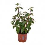 Fuchsia vzpřímená II.jpg