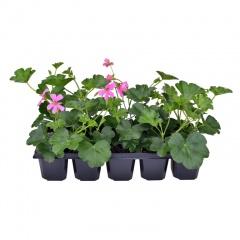 Pelargonium peltatum cascade 10 pack