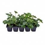 Pelargonium peltatum cascade 10 Pack I.jpg