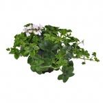 Pelargonium peltatum cascade I.jpg
