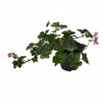 Pelargonium peltatum cascade II.jpg
