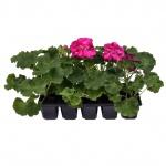 Pelargonium zonale 10 pack I