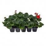 Pelargonium zonale 10 pack II