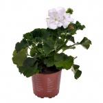 Pelargonium zonale V