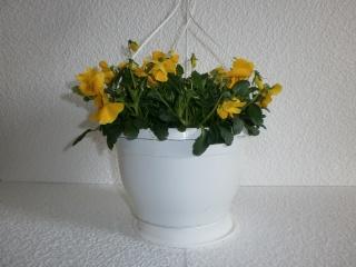 Viola Cornuta Ampel
