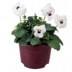 Viola cornuta III.jpg