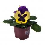 Viola wittrockiana IV.jpg
