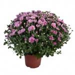 Chrysanthemum IV.jpg