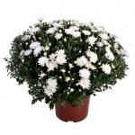 Chrysanthemum multiflora II.jpg